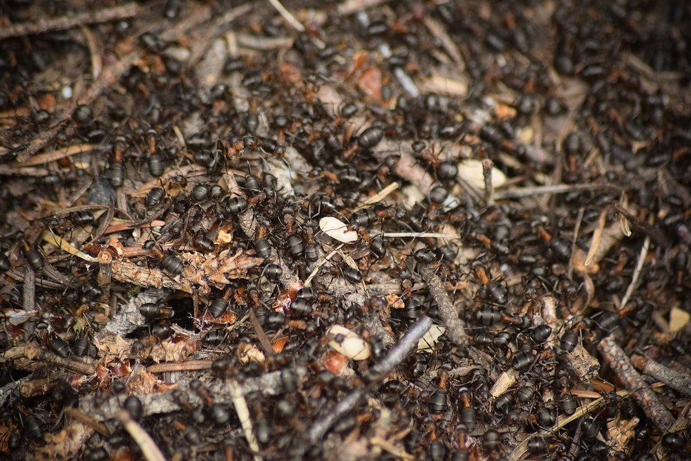 Scottish Wood Ant - Relocating eggs