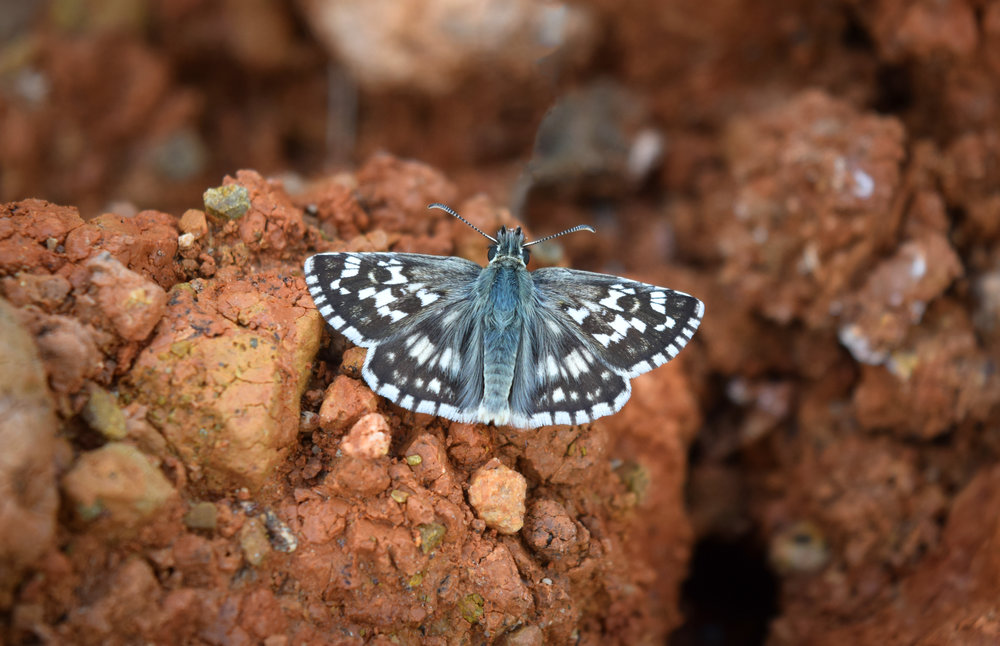 Sandy grizzled skipper