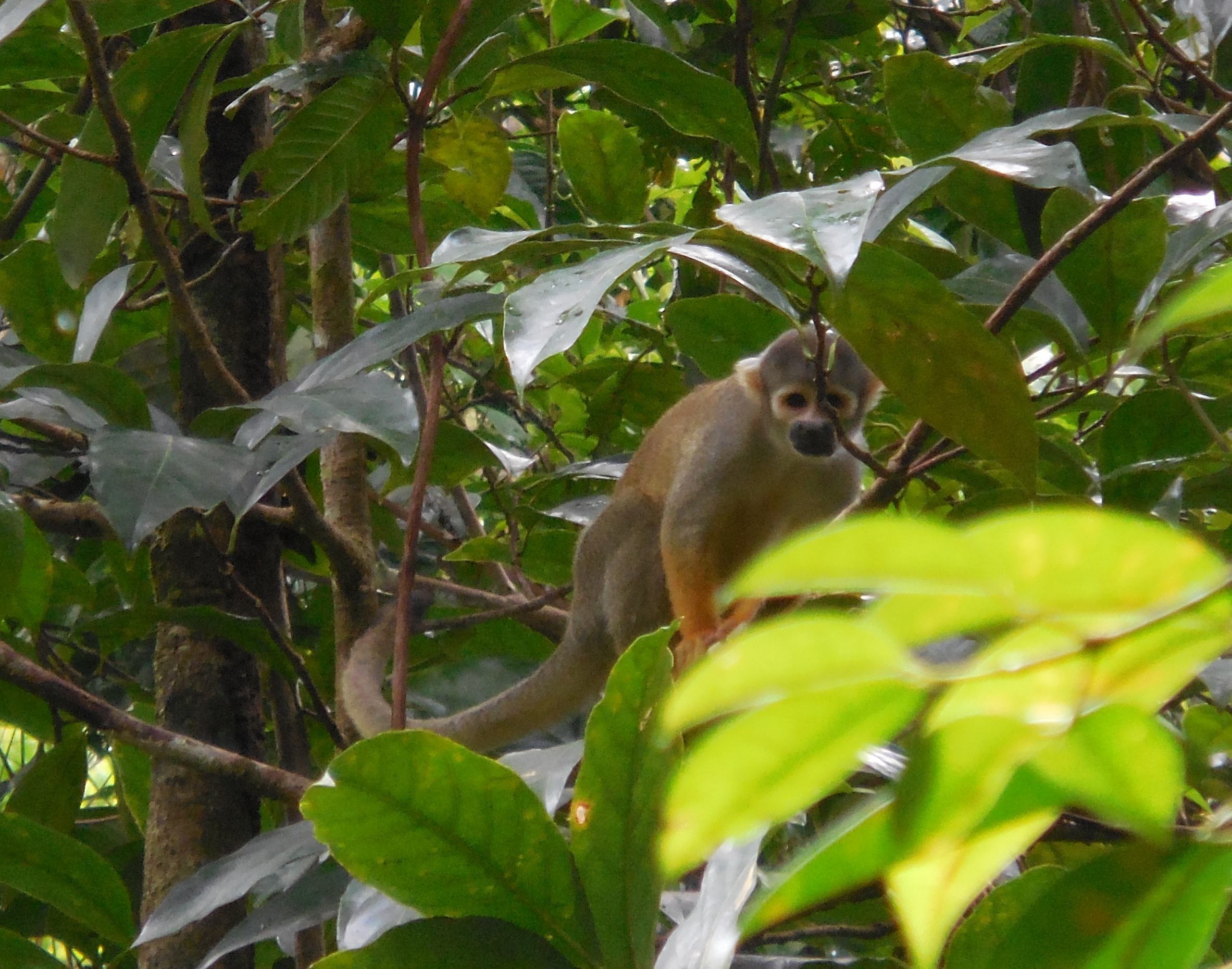 another squirrel monkey