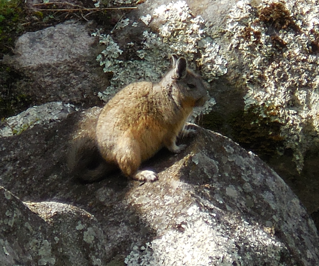 Machu Picchu arboreal chinchilla rat, (Cuscomys oblativa)