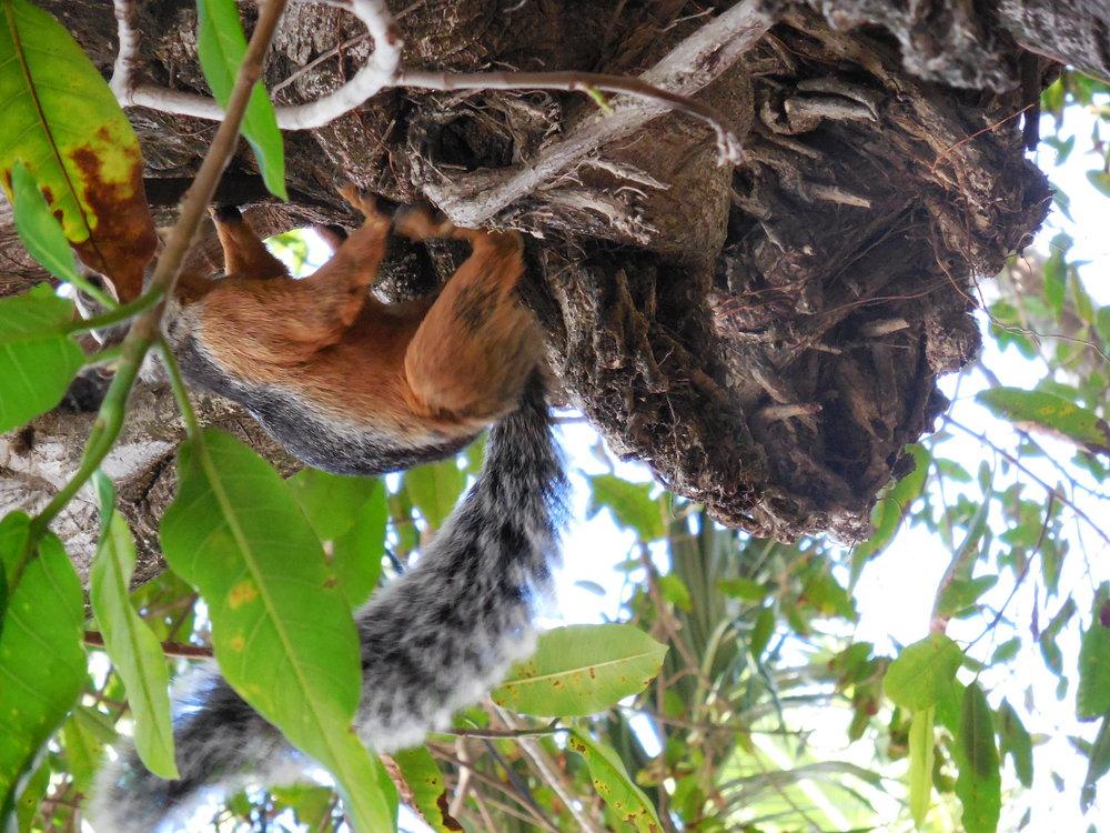 Squirl Tamarindo