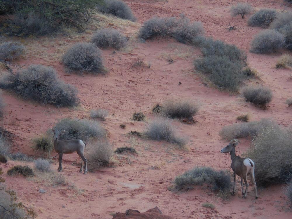 Desert Goats