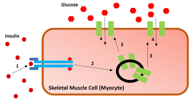Figure 7.   Insulin-induced glucose uptake into the skeletal muscle.  1) Insulin binds the insulin receptor (blue) causing the internal structure of the receptor to become phosphorylated. 2) Phosphorylated insulin receptor induces signaling cascade to GLUT4 (green) containing exosomes. 3) Exosomes transport GLUT4 receptors to the cell surface. 4) Glucose enters in through the GLUT4 transporters where it can be stored as glycogen, produce ATP, along with other cellular functions. See (Leto & Saltiel, 2012) for more details on insulin induce glucose uptake signaling. Ultimately, glucose levels within the blood begin to lower.