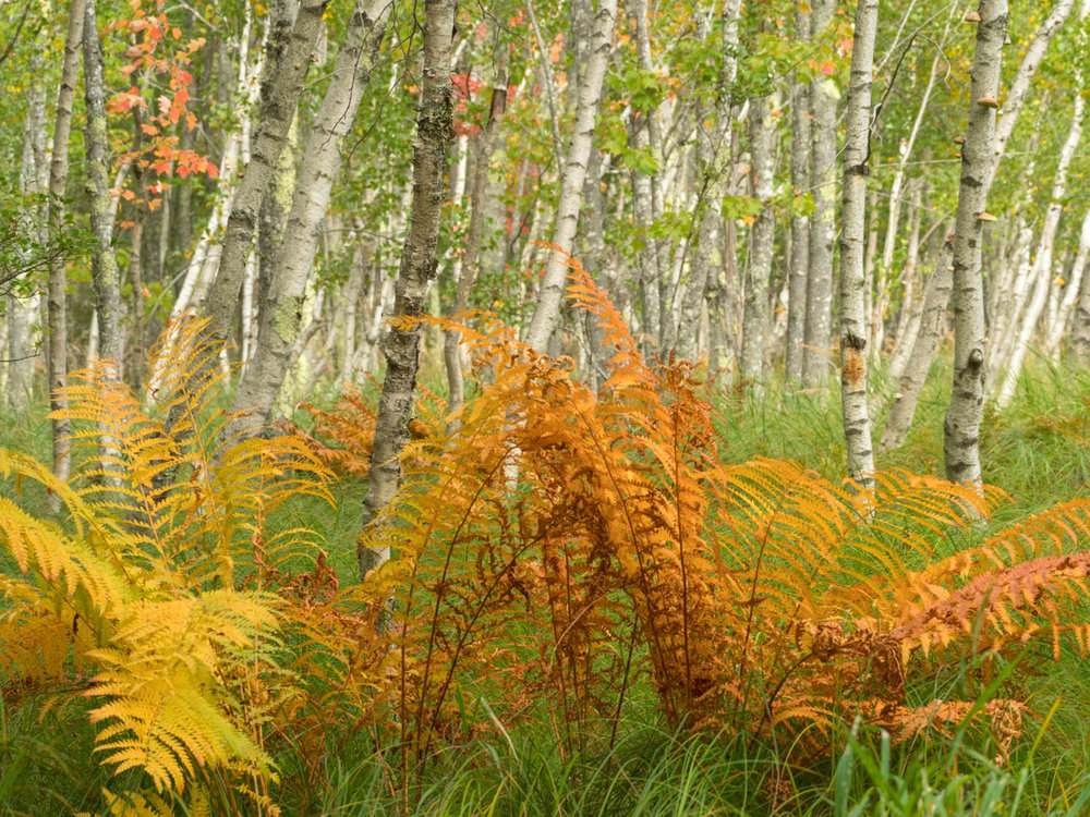 Birch Trees in Acadia National Forest, Maine