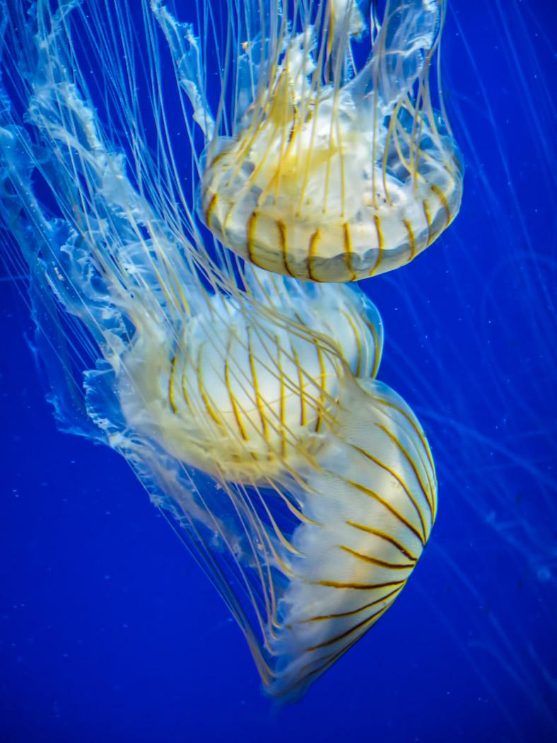 Jellyfish at Atlanta Aquarium