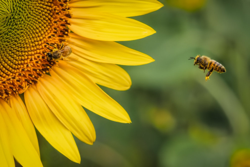 Bees Courting