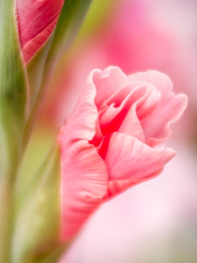 Little Pink Buds