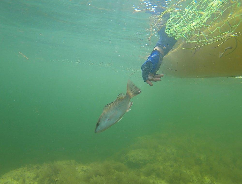 Emily releasing a juvenile mangrove snapper