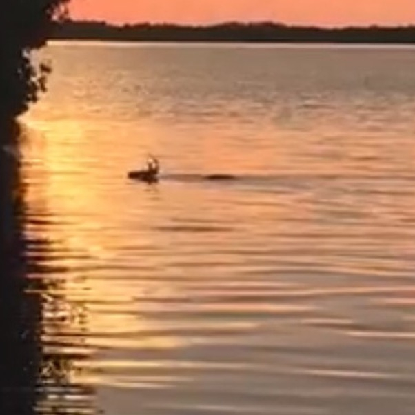 A Key Deer swimming across our canal at sunrise