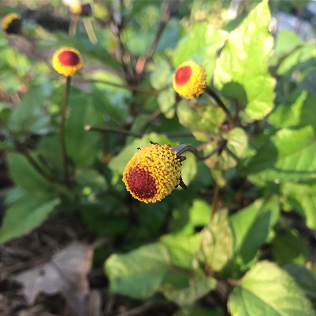 Spilanthes look like a little bush of eyeballs 👀👀 Such a powerful antimicrobial, extended use will actually disrupt a healthy gut ✋  Typical treatment for Lyme, Spilanthes is also called the Toothache Plant because of its incredible mouth numbing sensation. ✌️💙🌿 #eufloriahealing #floridaherbologist #herbalmedicine #shaman #floridamedicine #floridashaman #floridagardening #organic #treasurecoast #southflorida #stuart #hobesound #florida #plantmedicine #growyourownmedicine #floridaplants #floridanature #floridanativeplants #homesteading #herbalremedies #herbalworkshops #herbalmedicine #herbology #organic #verobeach #jupiter #westpalmbeach #spilanthes #toothacheplant
