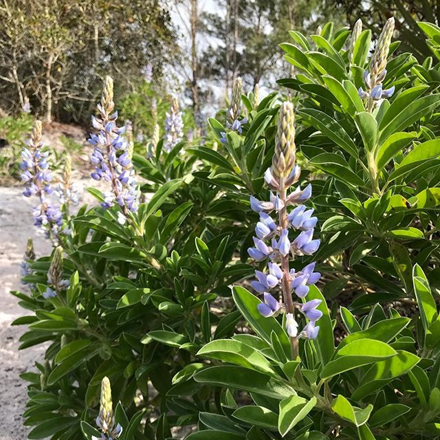 One of my favorite non-medicinal species.  Sky Blue Lupine grows on top of a Native American burial ground... talk about a sacred plant! ✌️💙🌸 #eufloriahealing #floridaherbologist #herbalmedicine #shaman #floridamedicine #floridashaman #floridagardening #organic #treasurecoast #southflorida #stuart #hobesound #florida #plantmedicine #growyourownmedicine #floridaplants #floridanature #floridanativeplants #homesteading #herbalremedies #herbalworkshops #herbalmedicine #herbology #organic #verobeach #jupiter #westpalmbeach #skybluelupine