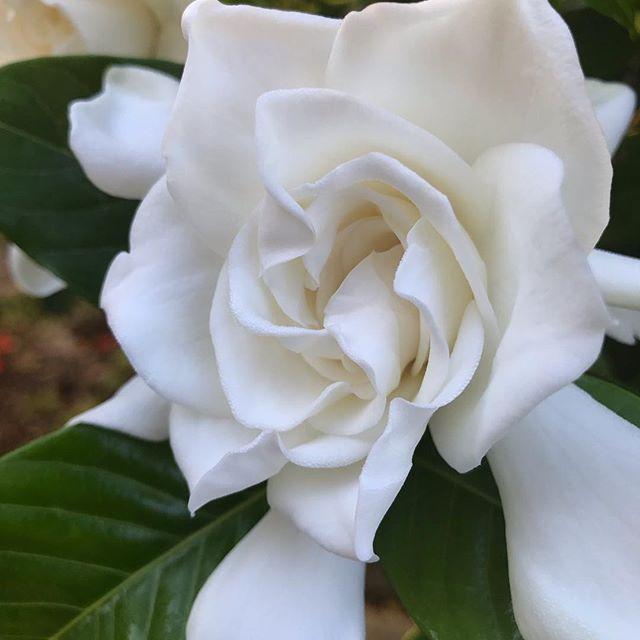 Best smell in.the.world. ✌️💙🌸 #eufloriahealing #floridaherbologist #herbalmedicine #shaman #floridamedicine #floridashaman #floridagardening #organic #treasurecoast #southflorida #stuart #hobesound #florida #plantmedicine #growyourownmedicine #floridaplants #floridanature #floridanativeplants #homesteading #herbalremedies #herbalworkshops #herbalmedicine #herbology #organic #verobeach #jupiter #westpalmbeach