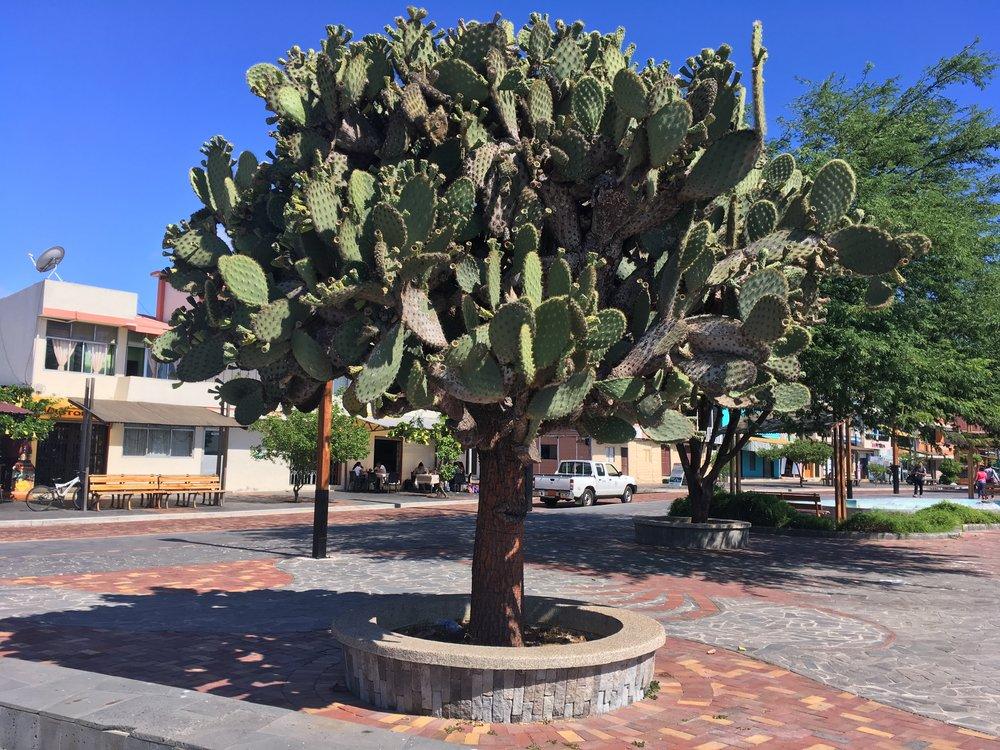 Giant  Opunti a cacti along the Puerto Baquerizo Moreno waterfront, San Cristóbal Island, Galápagos