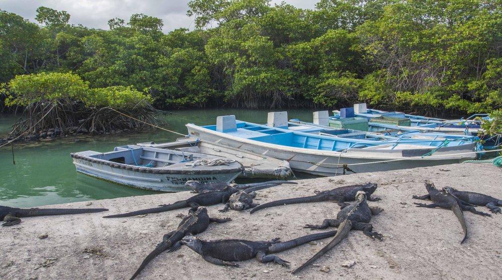 Marine iguanas, Puerto Ayora, Galápagos