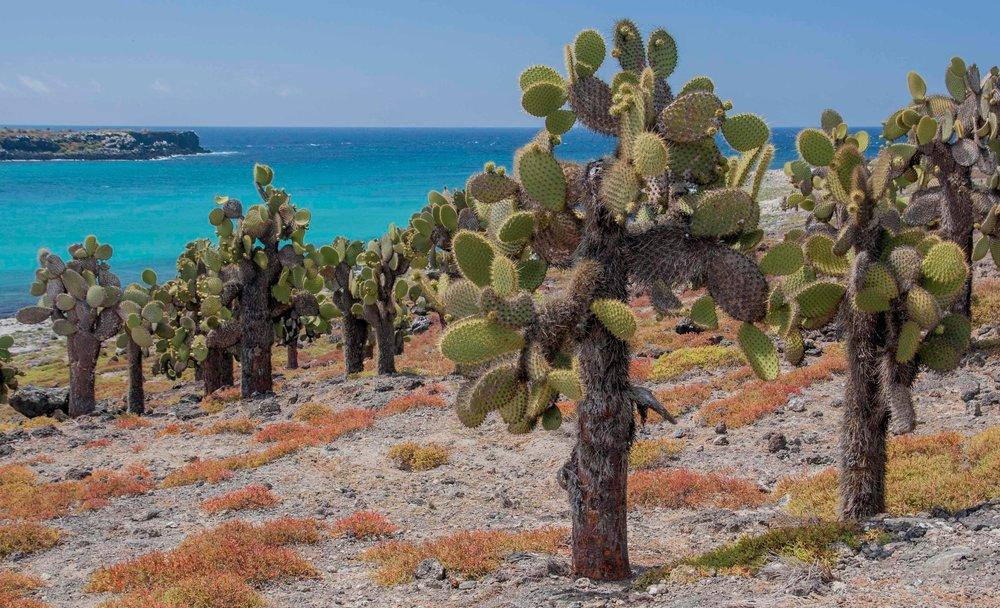 Giant  Opuntia  cacti, South Plaza Island, Galápagos