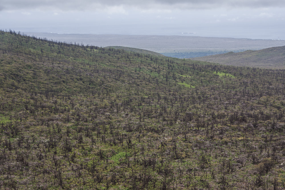 Invasive trees in the once-treeless highlands of Santa Cruz Island