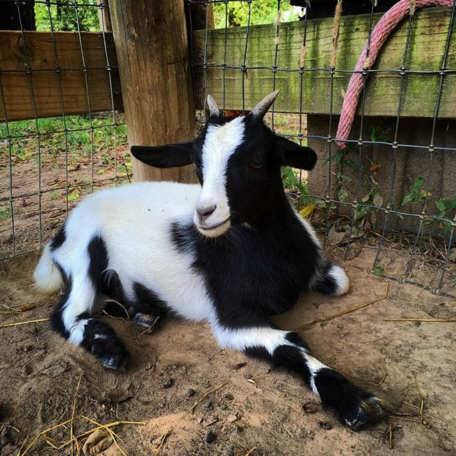 Hey there bat bat! Meet Mini Me, one of the 3 baby goats on the farm #goats #onthefarm #farmlife #hiddenhillsfarm