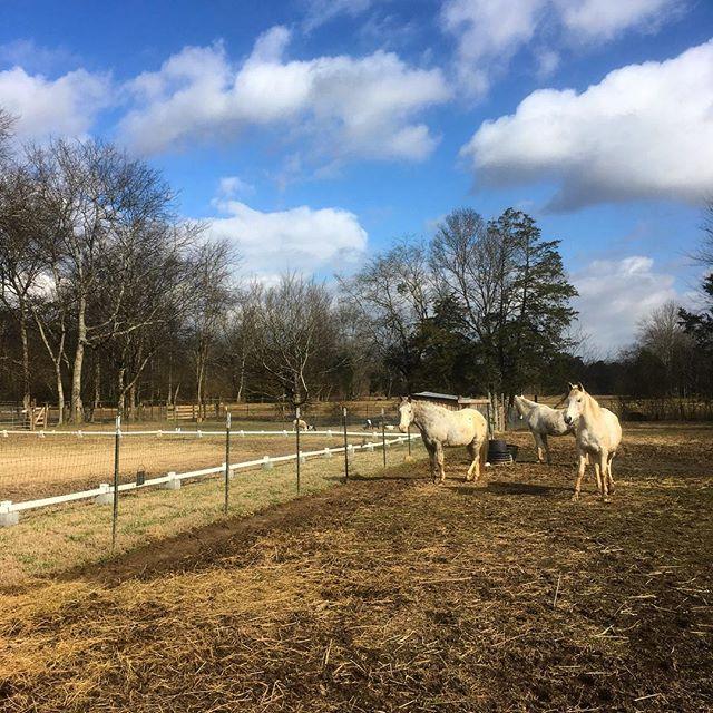 I'm so thankful to finally get some sun! I think these ponies are too. #hiddenhillsfarm #threewhitehorses #farmlife #onthefarm