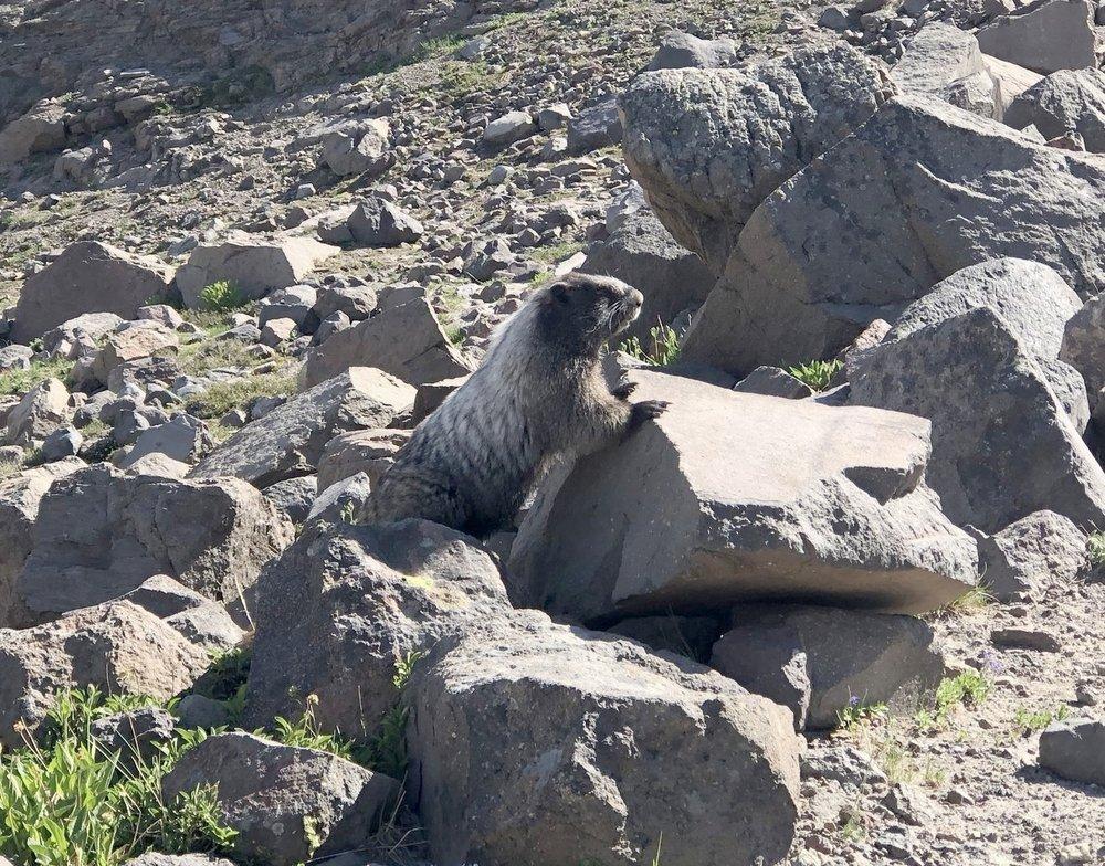 A sociable marmot near the campsite