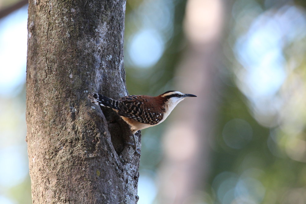 The Rufous-naped Wren was common around our dining table, and had a very pretty song.