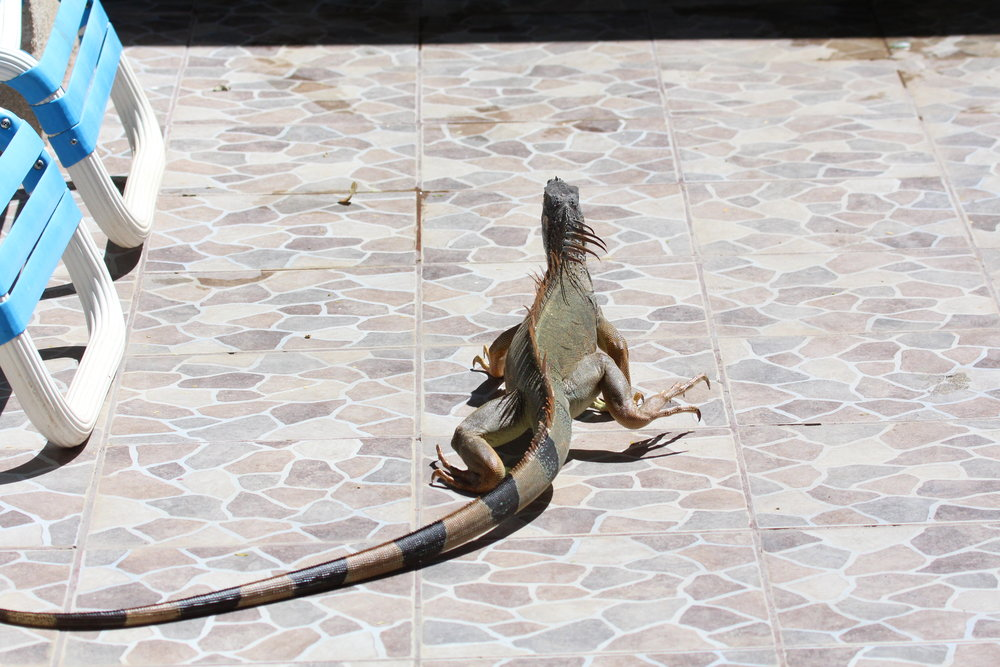 This rather large iguana was roaming around the pool area.