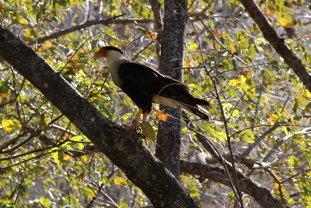 The Crested Caracara hawk