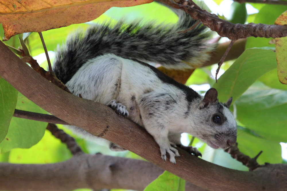 The Variegated Squirrel did the usual squirrel things, but with perhaps a bit more style.