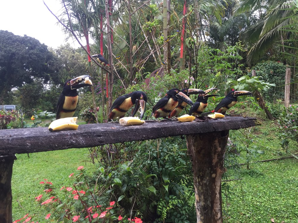 Feeding the Aracaris at Chalet Nicholas. I think these are the craziest looking birds with that gigantic beak and it's sawtooth pattern.