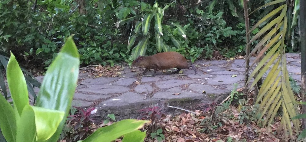An agouti on the path.
