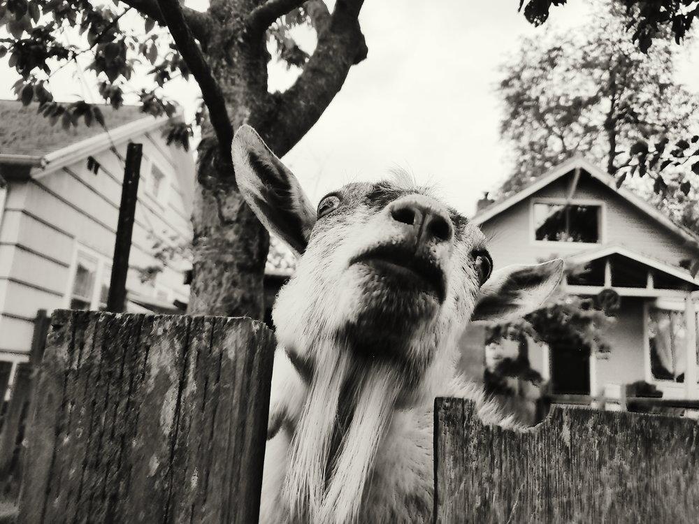 goatmuggin-erinjbernard