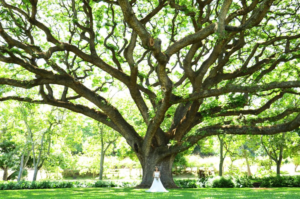 KAMANAIKI TREE