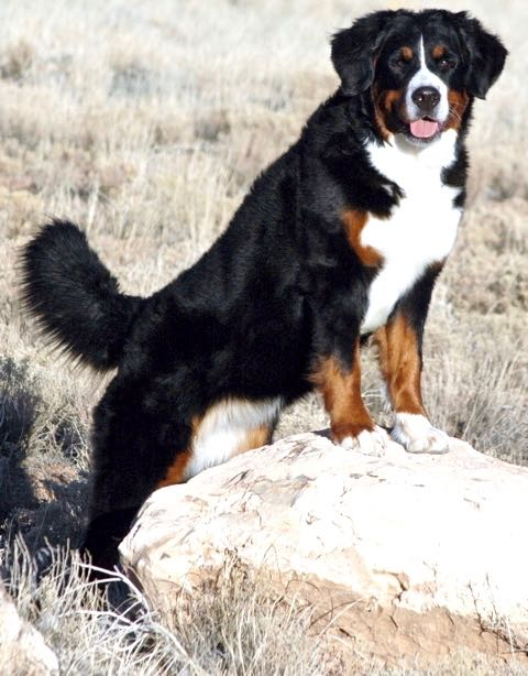 Forget-Me-Nots — Kaibab Bernese Mountain Dogs
