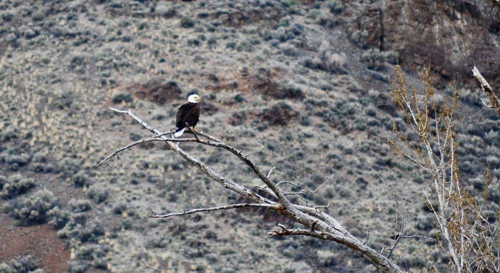 Bald Eagle April 2019.jpg