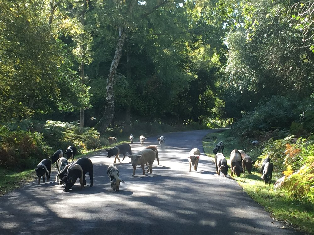 Pigs of the New Forest on the private road to our offices