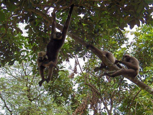 Gibbons in the wild