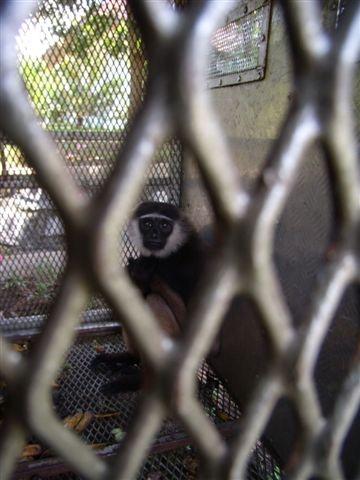 Gibbon OCCQ 1