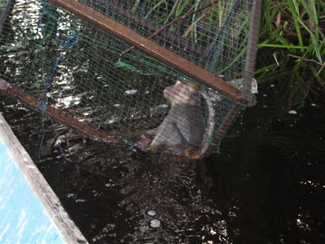 Trapped juvenile macaque