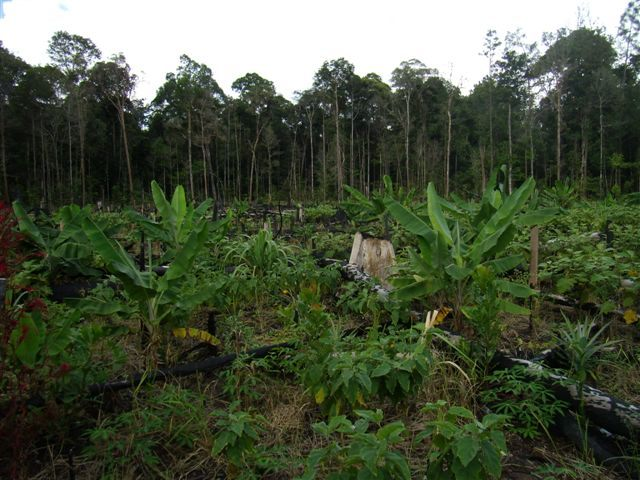 Farming inside Lamandau