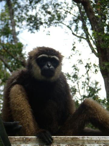 Gibbon Pondok Ambung