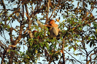 Proboscis Monkey -photo by Dr Mark Fellowes
