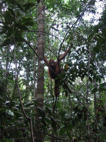 Orangutan in Lamandau