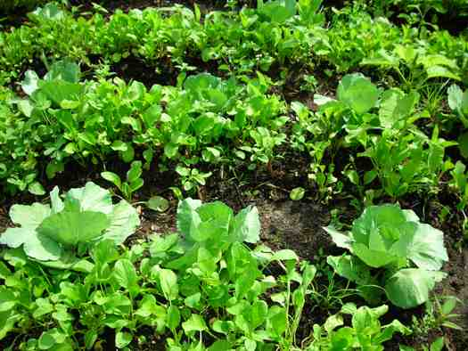 cabbage plot