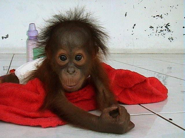 Abraham -orphaned infant orangutan