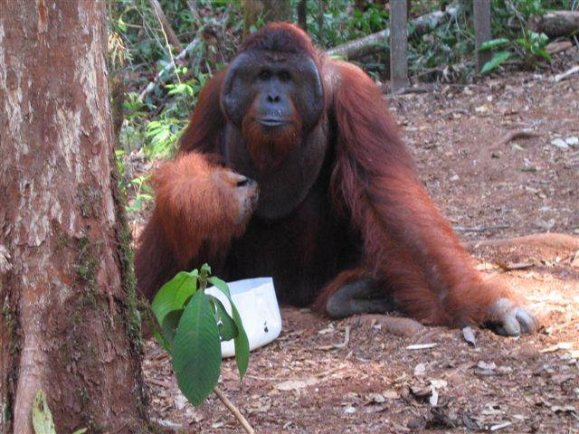 Tom - adult male Bornean orangutan