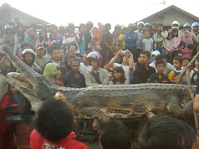 Malaysian False Gharial (Tomistoma schlegeli)
