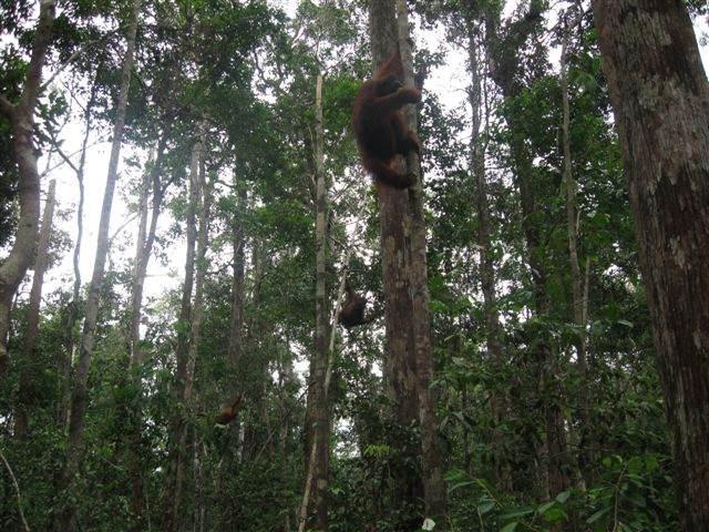 Orangutans at Camp Leakey