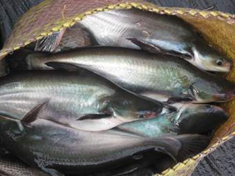 Patin - common species of fish found in Kalimantan.