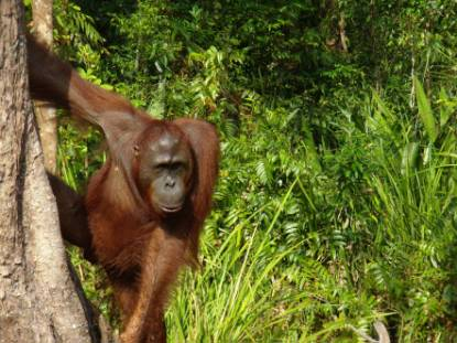 Omang -Adolecent Male Bornean Orangutan