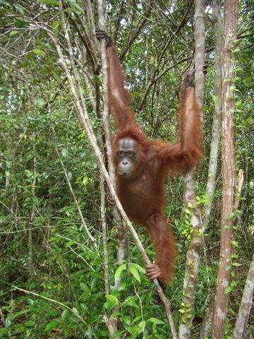 Ex-captive orangutan, Gorzitze