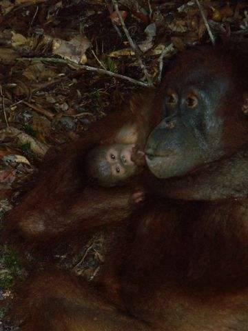 Ex-captive orangutan, Queen and her infant